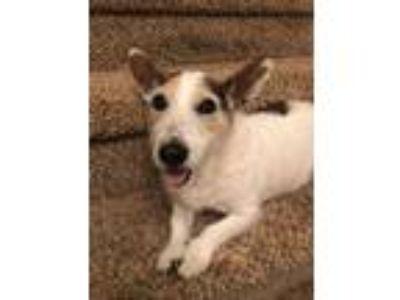 Adopt Cassie a Jack Russell Terrier