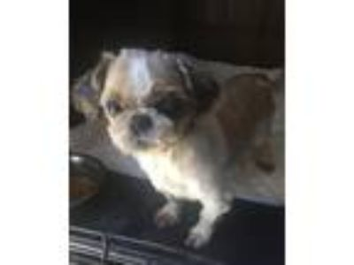 Adopt Morty coming 5-30 a White - with Tan, Yellow or Fawn Shih Tzu / Mixed dog