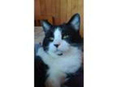 Adopt Echo a Black & White or Tuxedo Domestic Shorthair (short coat) cat in
