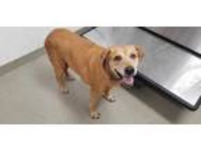 Adopt MARLEY a Brown/Chocolate Labrador Retriever / Mixed dog in Fort