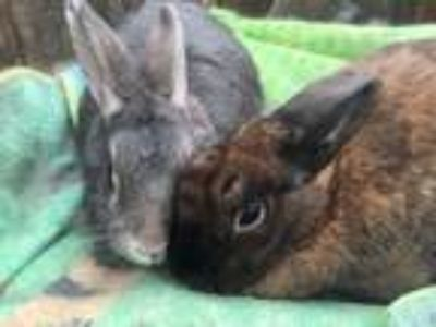 Adopt Marshall and Sally a Bunny Rabbit