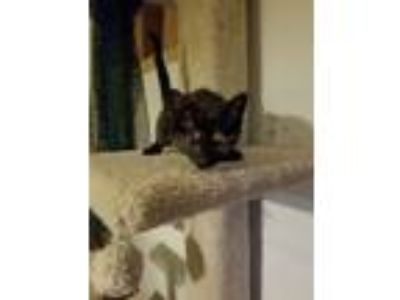 Adopt Game of Thrones a Domestic Short Hair