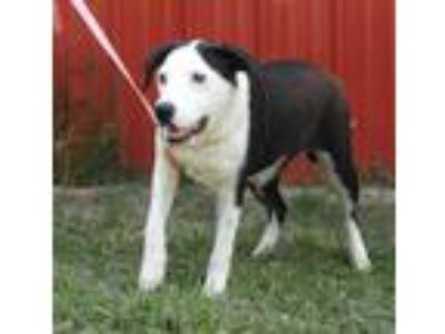 Adopt Cookie a Border Collie, Mixed Breed