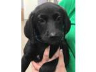 Adopt Babs a Black Labrador Retriever / Mixed dog in Bloomingdale, IL (25539717)