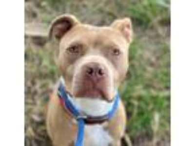 Adopt Otis a Tan/Yellow/Fawn - with White American Pit Bull Terrier / Mixed dog