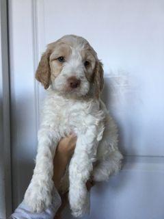 Brittnepoo PUPPY FOR SALE ADN-101883 - Precious Blonde Baby Girl