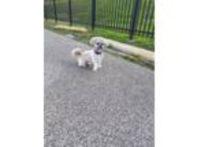Adopt Loki a Gray/Blue/Silver/Salt & Pepper Shih Tzu / Poodle (Standard) dog in