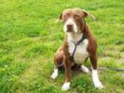 Adopt Becky a Brown/Chocolate Mixed Breed (Medium) / Mixed dog in Wellsville