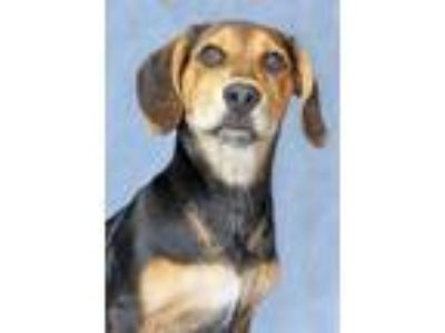 Adopt Gill a Tricolor (Tan/Brown & Black & White) Hound (Unknown Type) / Mixed