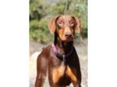 Adopt Roy a Brown/Chocolate - with Tan Doberman Pinscher / Mixed dog in