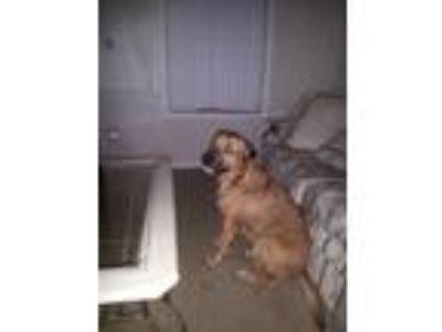 Adopt Abini a Tan/Yellow/Fawn - with White Rottweiler / Labrador Retriever /