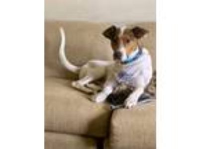 Adopt Kobe a White - with Tan, Yellow or Fawn Collie / Hound (Unknown Type) /