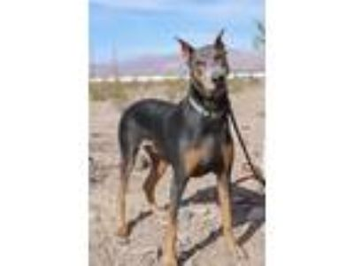 Adopt Luna Blue a Gray/Blue/Silver/Salt & Pepper Doberman Pinscher / Mixed dog