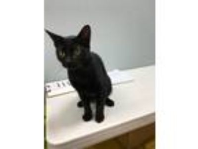 Adopt Beyonce a All Black Domestic Shorthair (short coat) cat in Byron Center