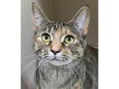 Adopt Milly a Brown or Chocolate Domestic Shorthair / Domestic Shorthair / Mixed