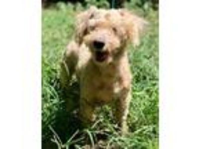 Adopt CARSON a Poodle