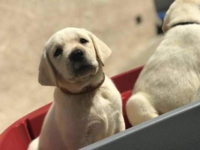 Labrador Retriever PUPPY FOR SALE ADN-89629 - Yellow English Labradors