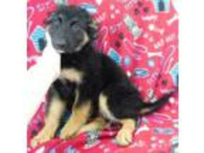 Adopt Valkyrie a German Shepherd Dog, Border Collie