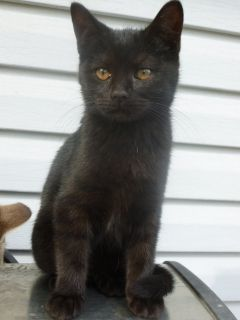 Two black British shorthair mix kittens