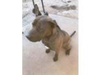 Adopt Arcticwee a Brown/Chocolate - with Tan Labrador Retriever / Boxer / Mixed