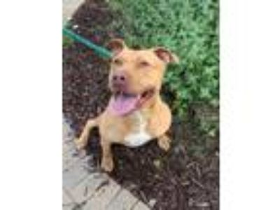 Adopt Gabby a Red/Golden/Orange/Chestnut Mixed Breed (Large) / Mixed dog in