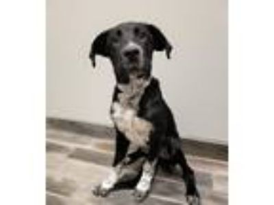 Adopt Bradley a Black - with White Retriever (Unknown Type) / Mixed dog in