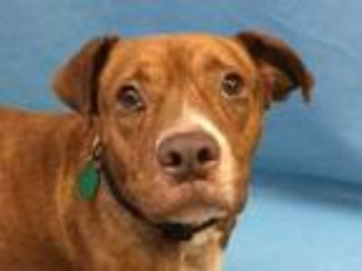 Adopt Quinn a Brindle American Pit Bull Terrier / Boxer / Mixed dog in Golden