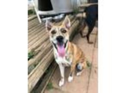 Adopt Addie--COME MEET a Australian Cattle Dog / Blue Heeler
