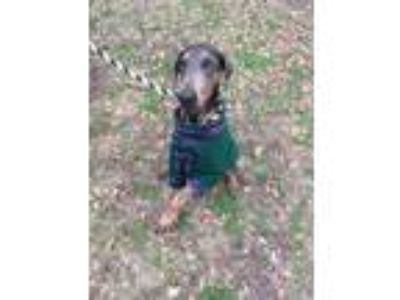 Adopt Vivian a Gray/Blue/Silver/Salt & Pepper Doberman Pinscher / Mixed dog in