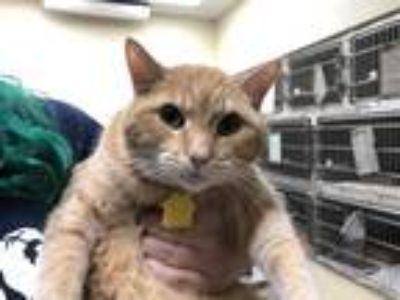 Adopt MILLIE a Orange or Red Tabby Domestic Shorthair / Mixed (short coat) cat