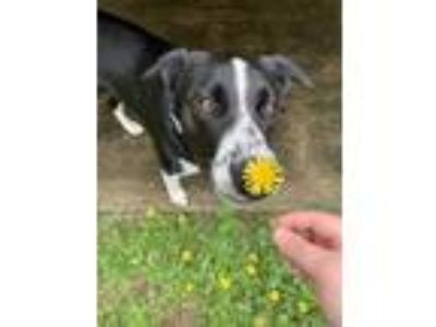 Adopt Ella a Black - with White Labrador Retriever / Australian Shepherd dog in