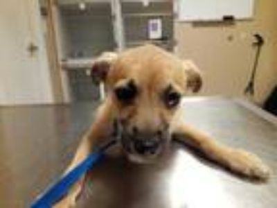 Adopt Olive 511-19 a Tan/Yellow/Fawn Dachshund / Mixed dog in Cumming