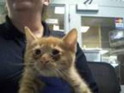 Adopt a Orange or Red Domestic Shorthair / Mixed (short coat) cat in Charlotte