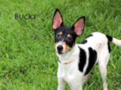 Adopt BUCKY a Tricolor (Tan/Brown & Black & White) Rat Terrier / Mixed dog in
