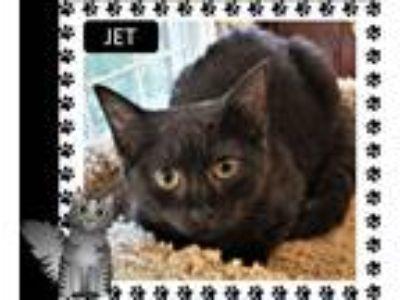 Adopt Jet a Black (Mostly) Domestic Shorthair (short coat) cat in Loveland