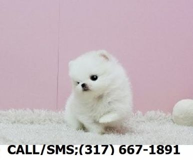 Puppy - For Sale Classifieds in Hope Mills, North Carolina