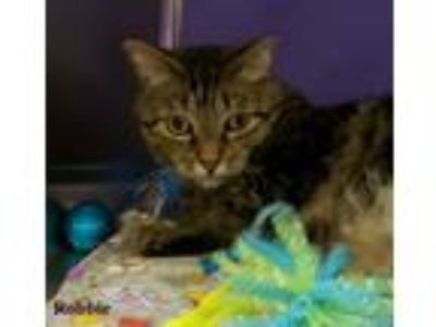 Adopt Robbie a Tabby, Domestic Short Hair
