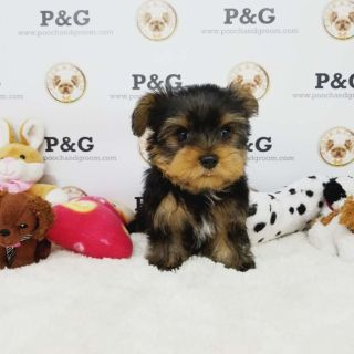 Yorkshire Terrier PUPPY FOR SALE ADN-96435 - YORKSHIRE TERRIER TOBY MALE