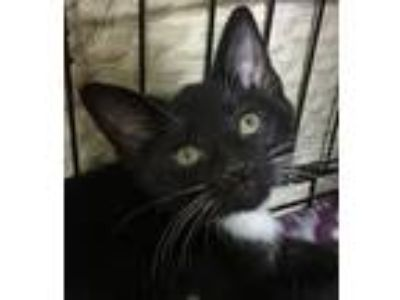 Adopt Posey a Black & White or Tuxedo Domestic Shorthair / Mixed cat in