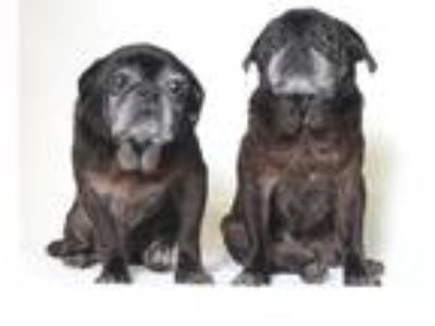 Adopt Snape a Pug / Mixed dog in Gardena, CA (21473597)