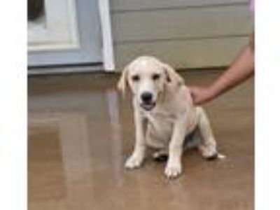 Adopt moose a Red/Golden/Orange/Chestnut - with White Labrador Retriever / Mixed