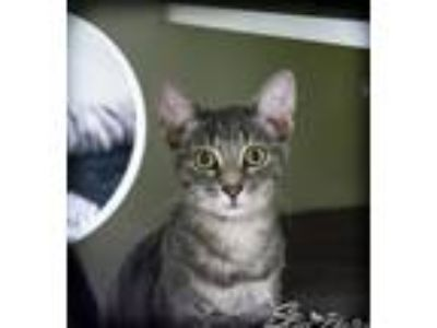 Adopt Chello a Gray, Blue or Silver Tabby Domestic Mediumhair / Mixed cat in St.