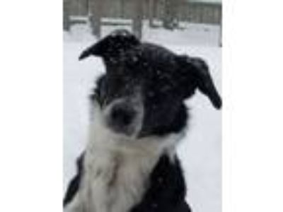 Adopt Ozzy - Courtesy Listing a Border Collie