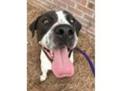 Adopt Big Country a Pit Bull Terrier, Hound