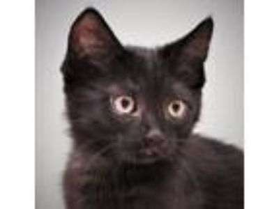 Adopt Valerie and Vivian a Domestic Short Hair