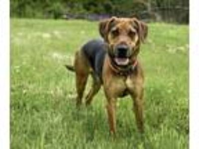 Adopt Huck a Black - with Tan, Yellow or Fawn Hound (Unknown Type) / Mixed Breed