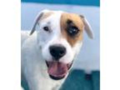 Adopt Papaya a White - with Tan, Yellow or Fawn Pit Bull Terrier / Mixed dog in