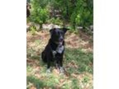 Adopt Maggie H a Black - with White Labrador Retriever / Australian Cattle Dog /