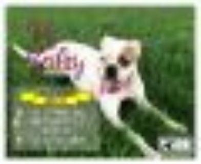 Bailey Boxer Dog
