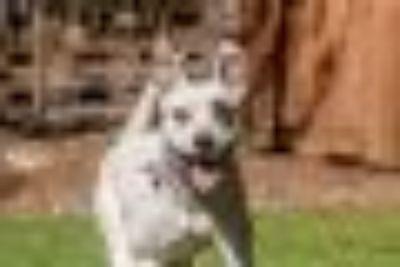 Aurora Pit Bull Terrier Dog